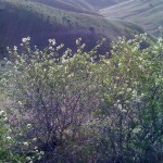 View down Willow Creek from near Sheep Rock.  Beautiful spring shrubs in the foreground.